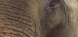 Elefant, Khao Sok